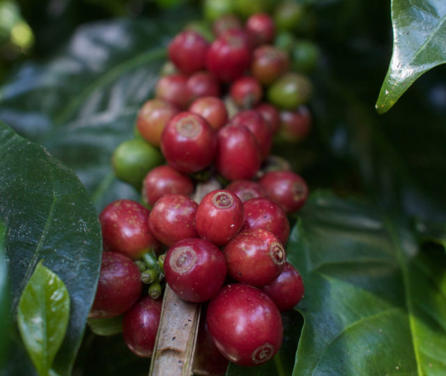 Black Honey Coffee - Ceresia Coffee Roasters